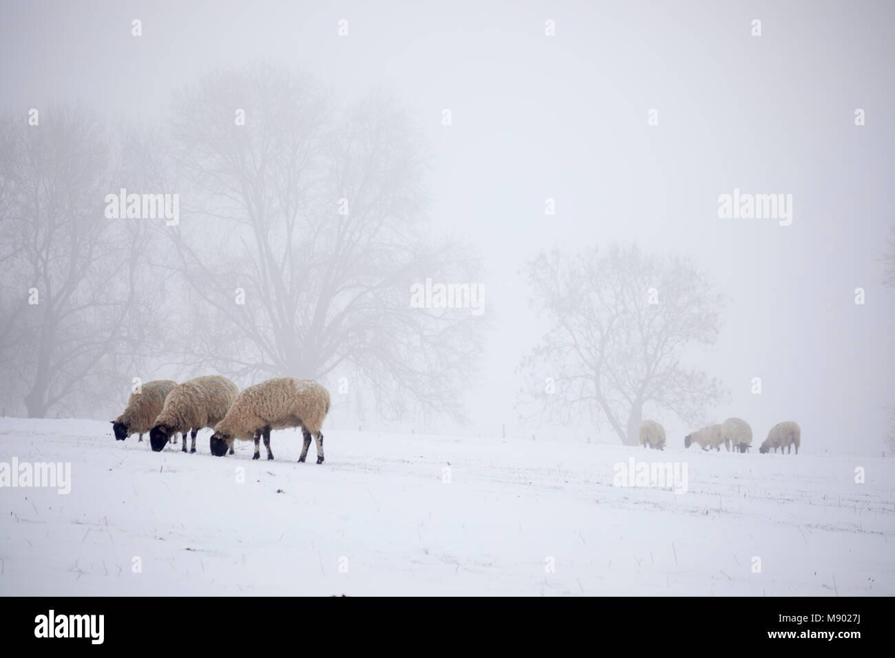 Ovejas blancas en la nieve y la niebla, Chipping Campden, los Cotswolds, Gloucestershire, Inglaterra, Reino Unido, Imagen De Stock