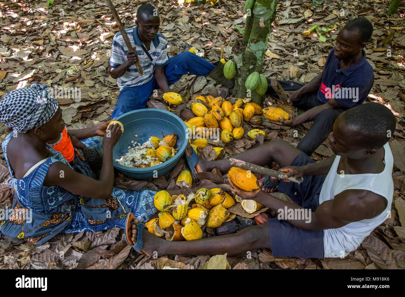 Costa de Marfil. Rompiendo los agricultores cosechan las mazorcas de cacao. Imagen De Stock
