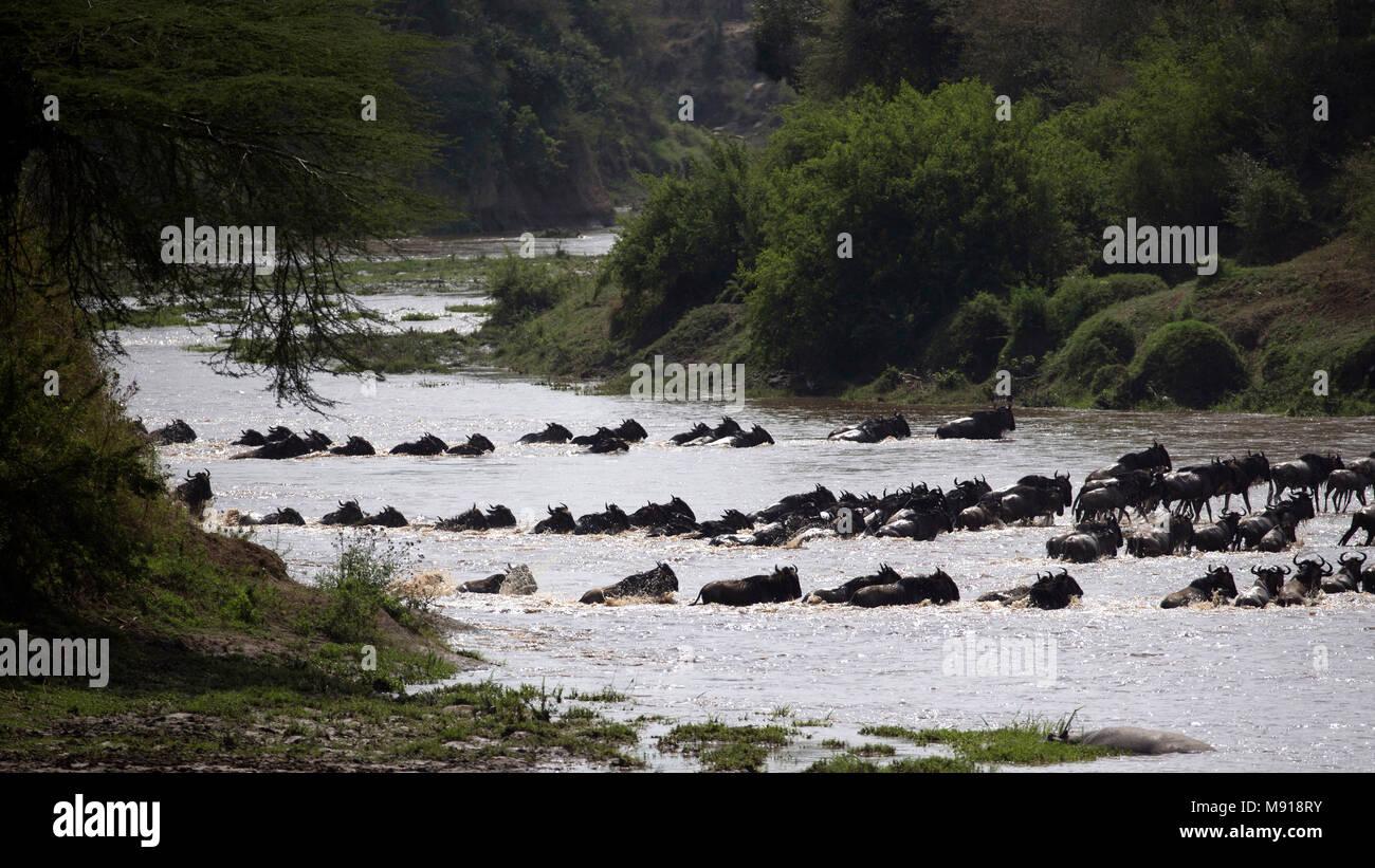 La manada de la migración de los ñus (Connochaetes taurinus) cruzando el río Mara. La reserva Masai Mara. Kenya. Foto de stock