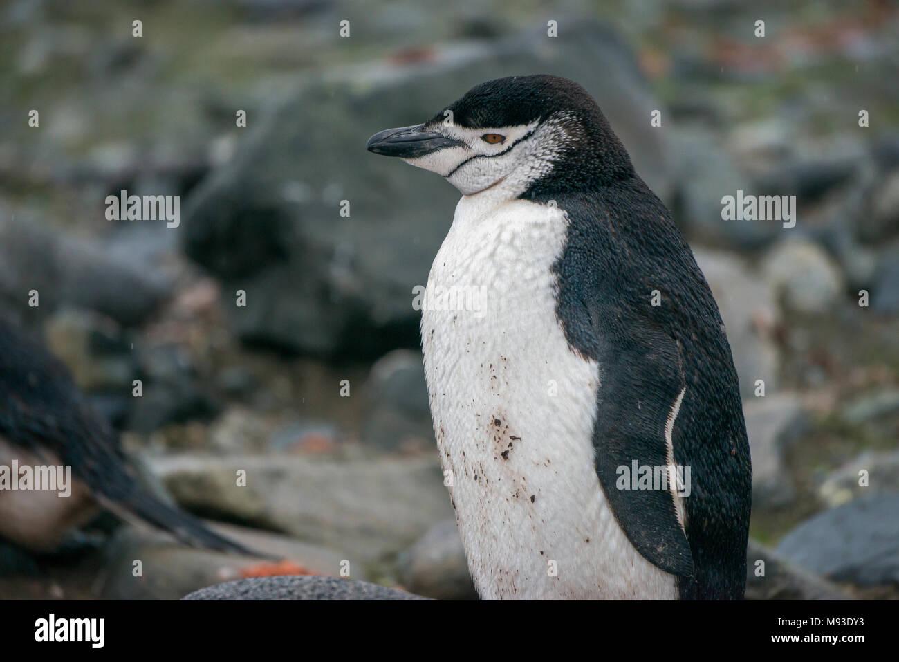 Una de pingüinos de barbijo (Pygoscelis antarcticus) en una lluviosa Isla media luna en la Antártida Imagen De Stock
