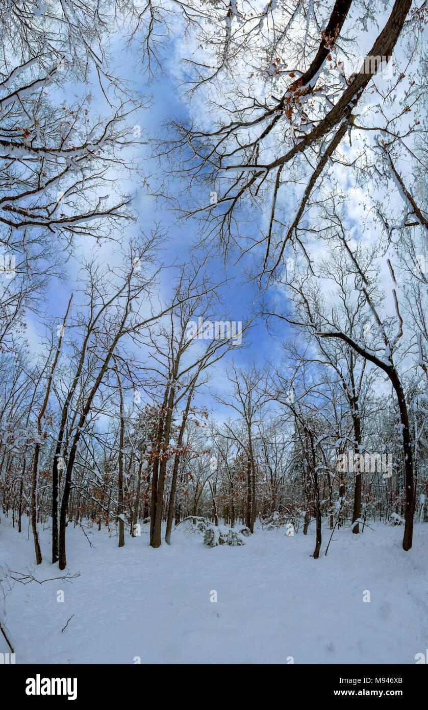 Majestuosos abetos blancos iluminado por la luz solar. Hermosa y pintoresca escena invernal. Lugar de ubicación del parque nacional de los Cárpatos, Ucrania, Europa. Esquí Alpes Foto de stock