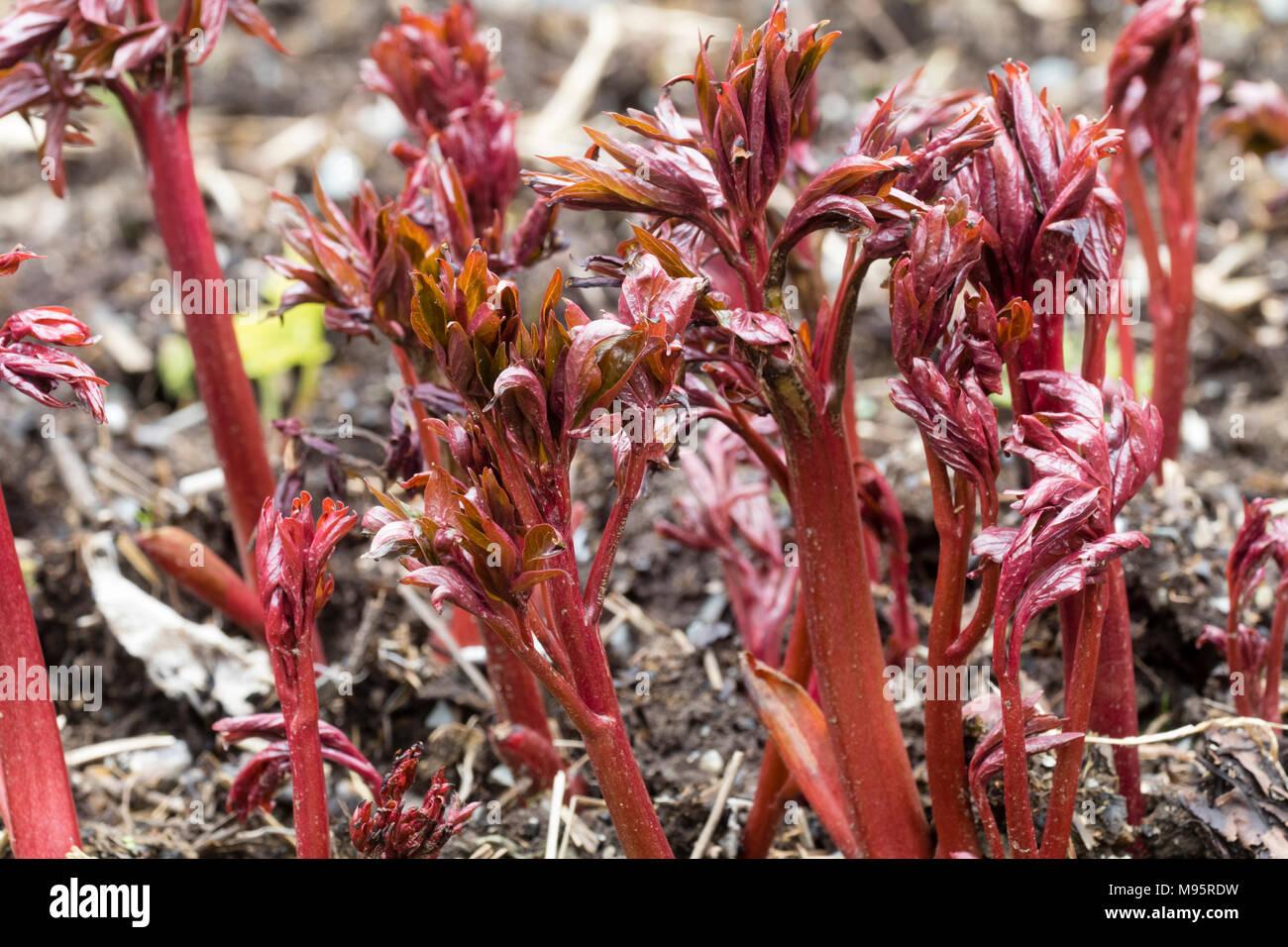 """Tallos rojos y follaje joven del peony, Paeonia """"Coral encanto"""" ofrecen un atractivo efecto que emergen en la primavera temprana Foto de stock"""