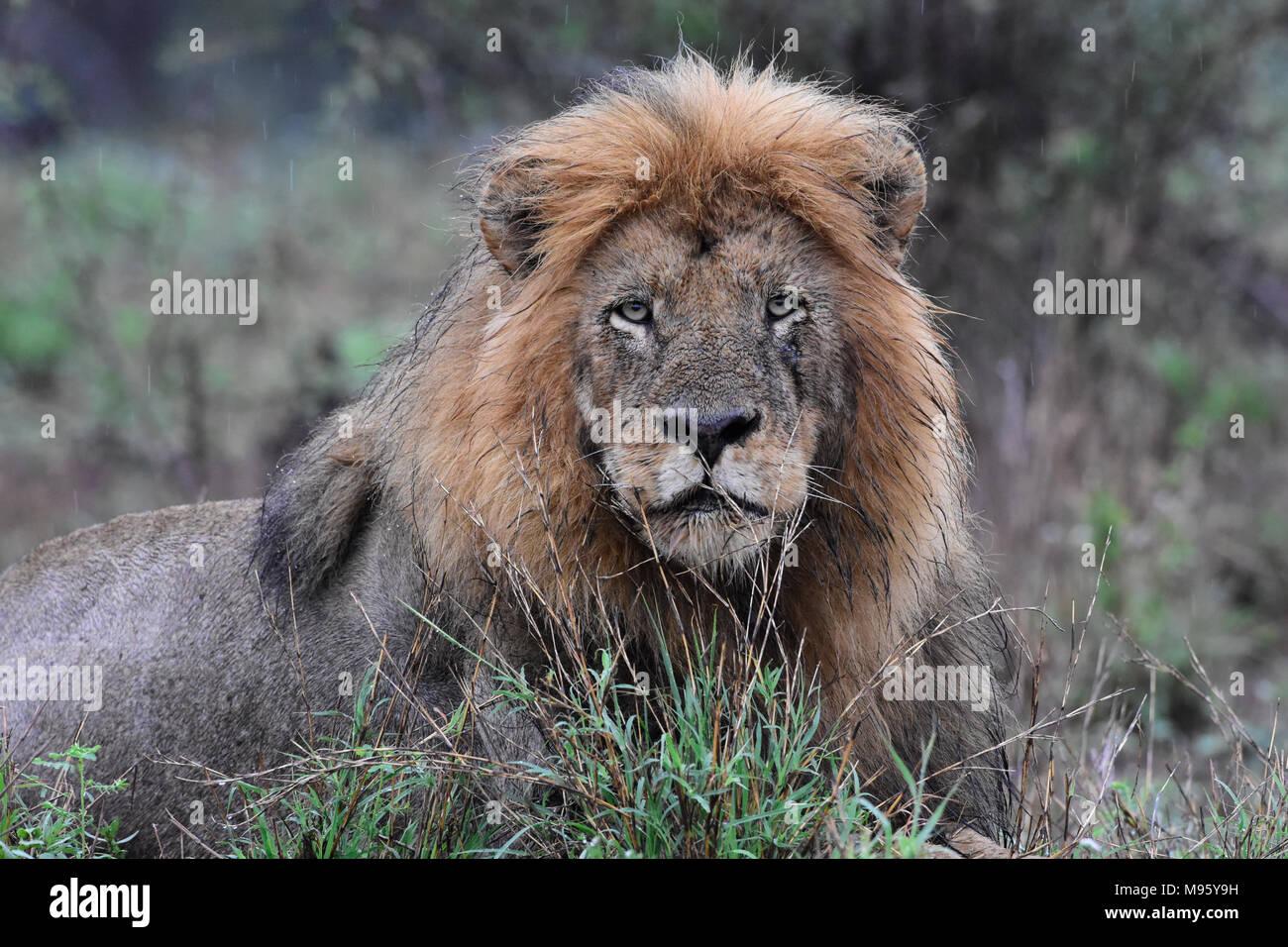 Sudáfrica es un destino turístico muy popular por su mezcla de verdaderas experiencias europeas y africanas. Kruger Park es famosa en todo el mundo. León macho mojado. Imagen De Stock