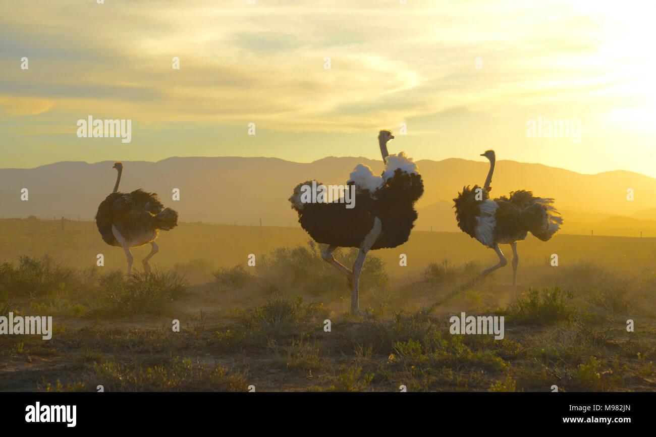 Karoo, en Sudáfrica. Struthio camelus o avestruz común Foto de stock