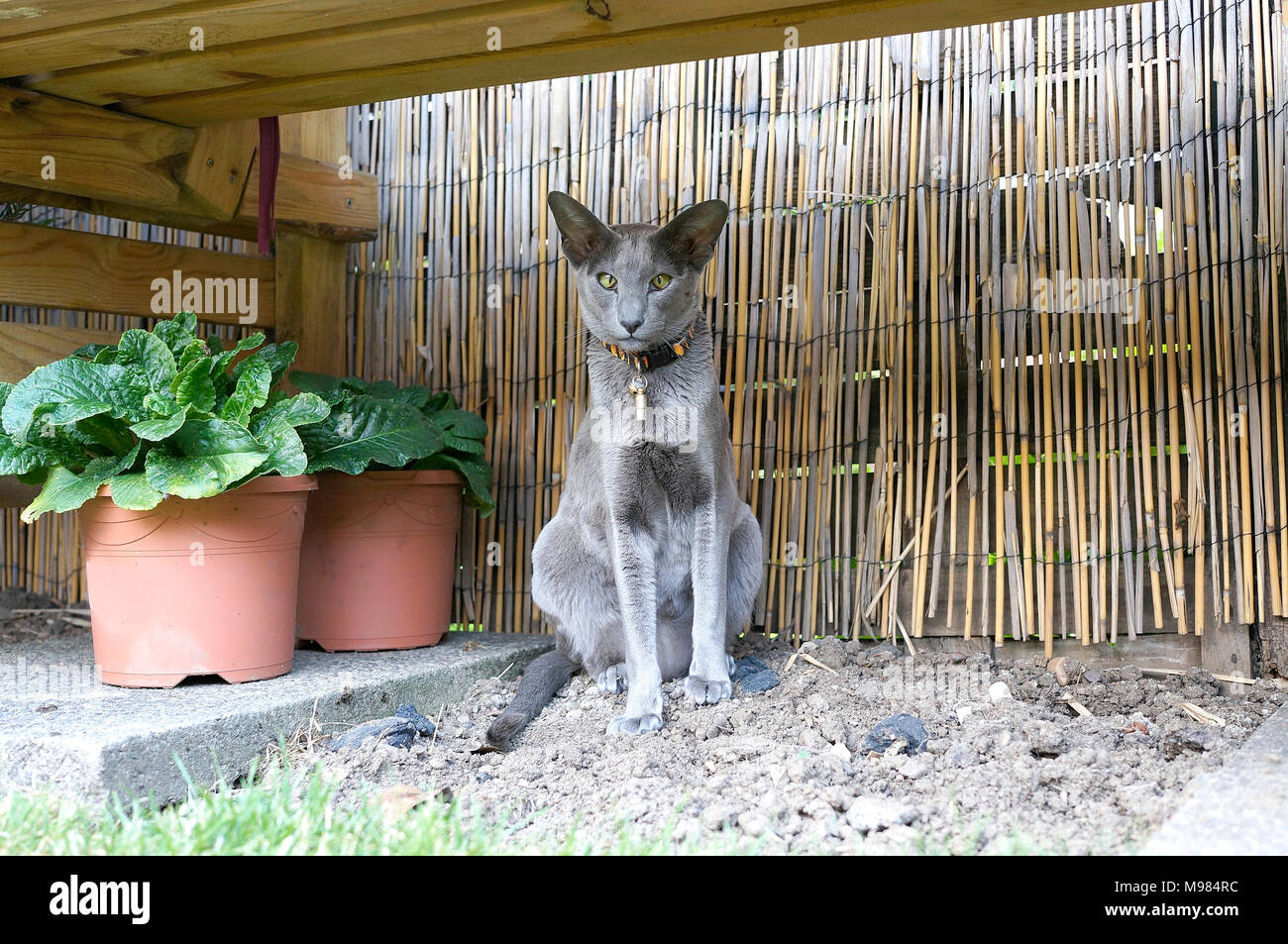 Gris exótico gato mascota Foto de stock