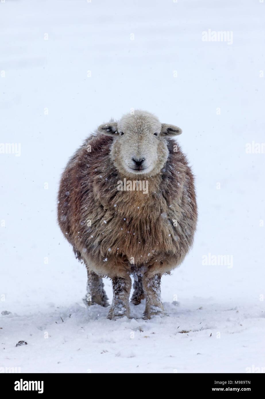 Ovejas Herdwick y caída de nieve, UK Imagen De Stock