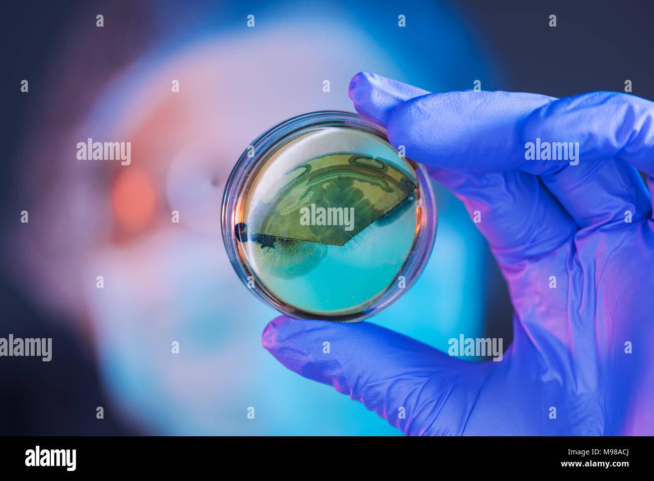 Análisis científico femenino creciente cultivos bacterianos en placa de Petri en el laboratorio, la ciencia y la microbiología antecedentes Foto de stock