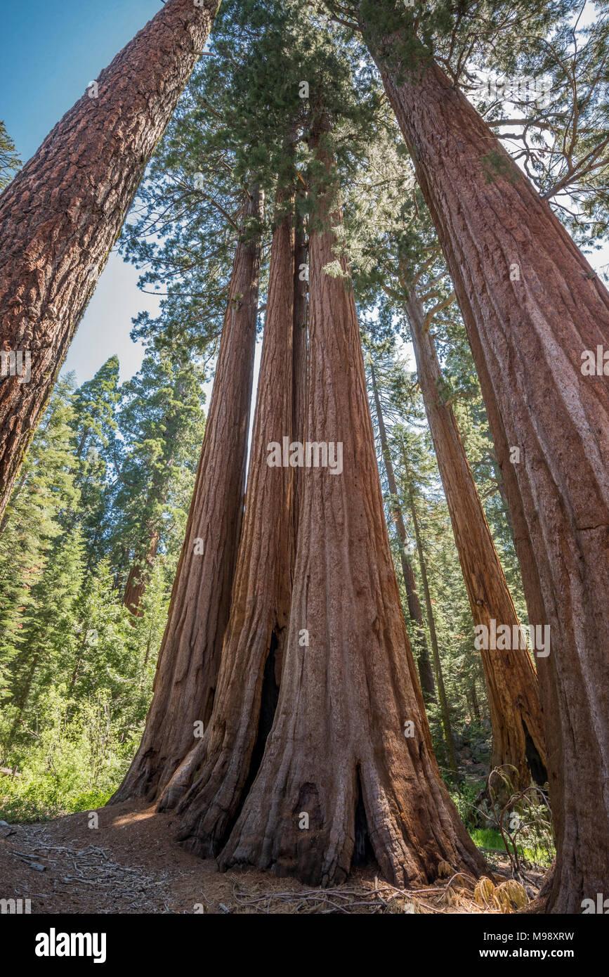 La Secoya gigante es la especie de árbol más grande y el mayor organismo vivo sobre la tierra. Sequoia National Park es el hogar de miles de estos árboles. Foto de stock