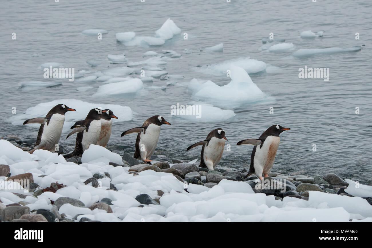 Un pequeño grupo de pingüinos Gentoo caminando a lo largo de la costa de la Antártida Foto de stock