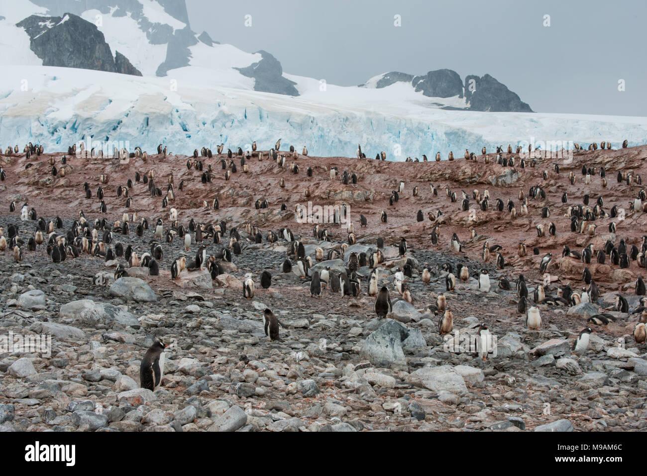 Una colonia de pingüinos Gentoo en la Antártica Imagen De Stock