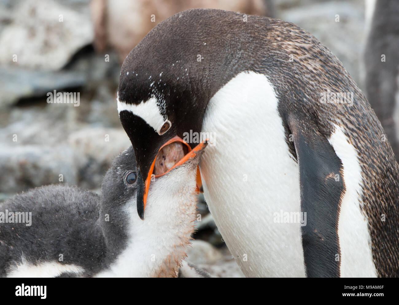 Un pingüino Gentoo alimenta su polluelo hambriento en la Antártida Imagen De Stock