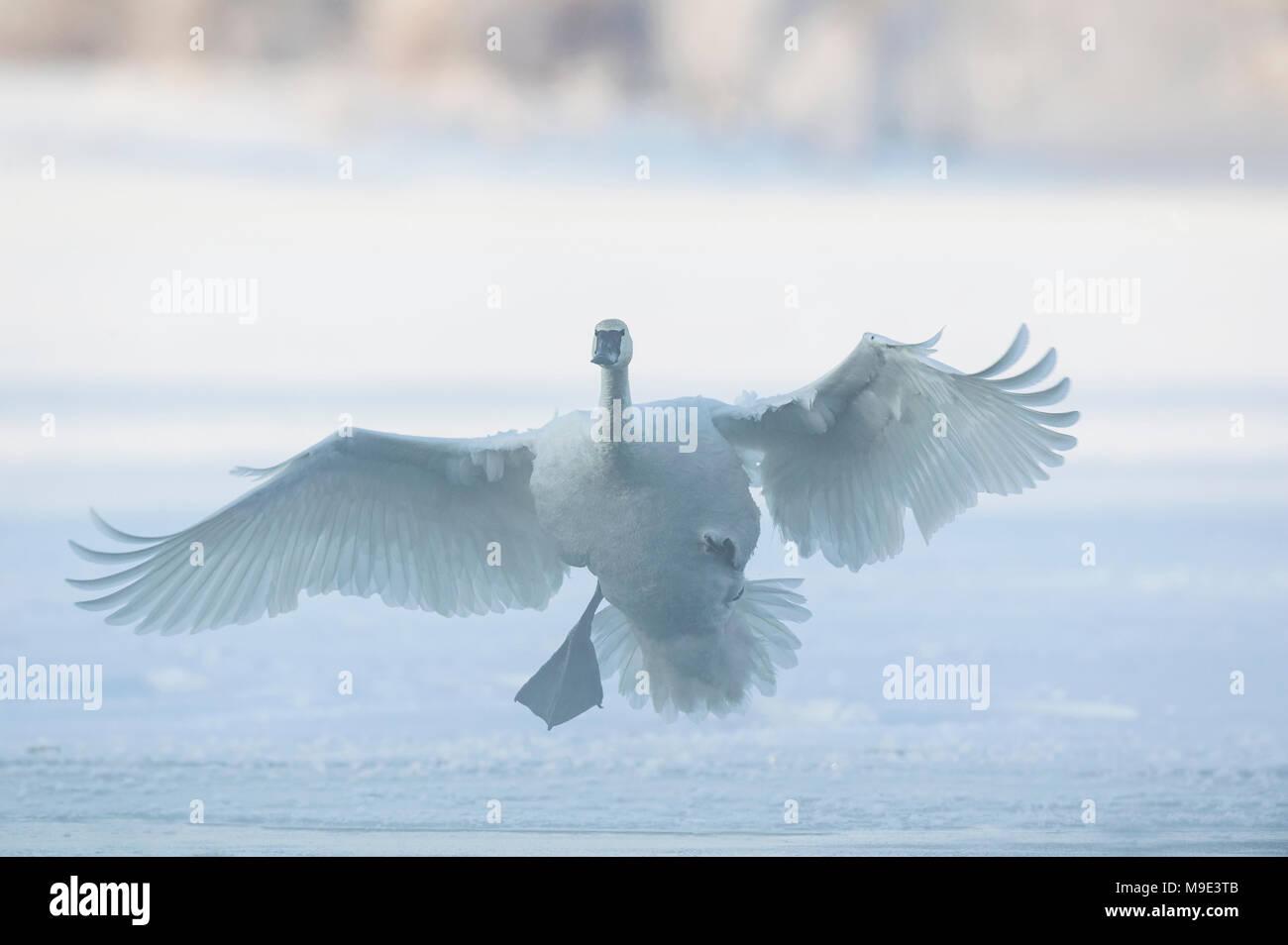 Trumpeter cisnes (Cygnus buccinator) que aterrizaba en Santa Cruz, el Río Hudson, WI, USA, a mediados de enero, Dominique Braud/Dembinsky Foto Assoc Foto de stock