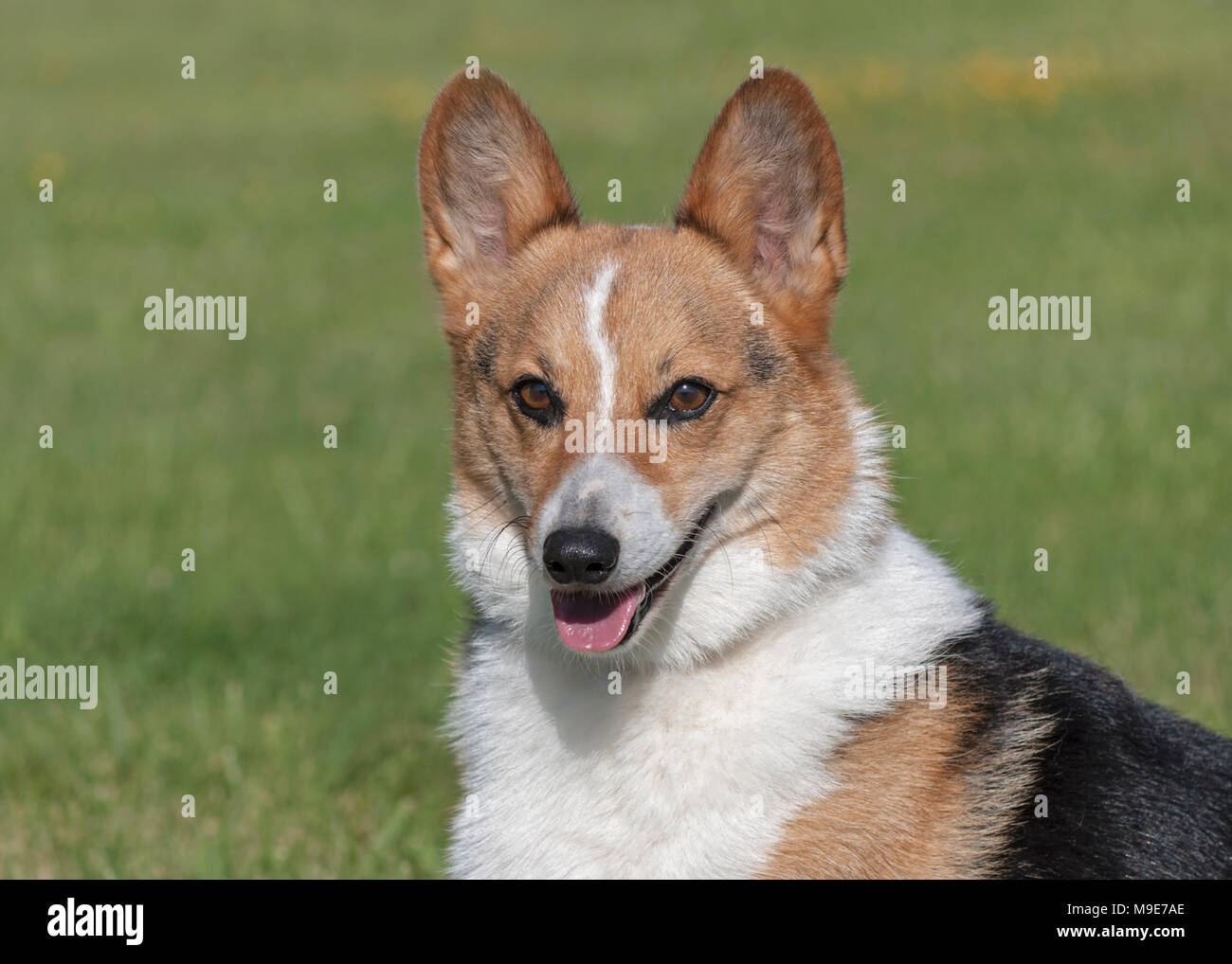 Retrato de sonriente macho tricolor pembroke Welsh Corgi Imagen De Stock