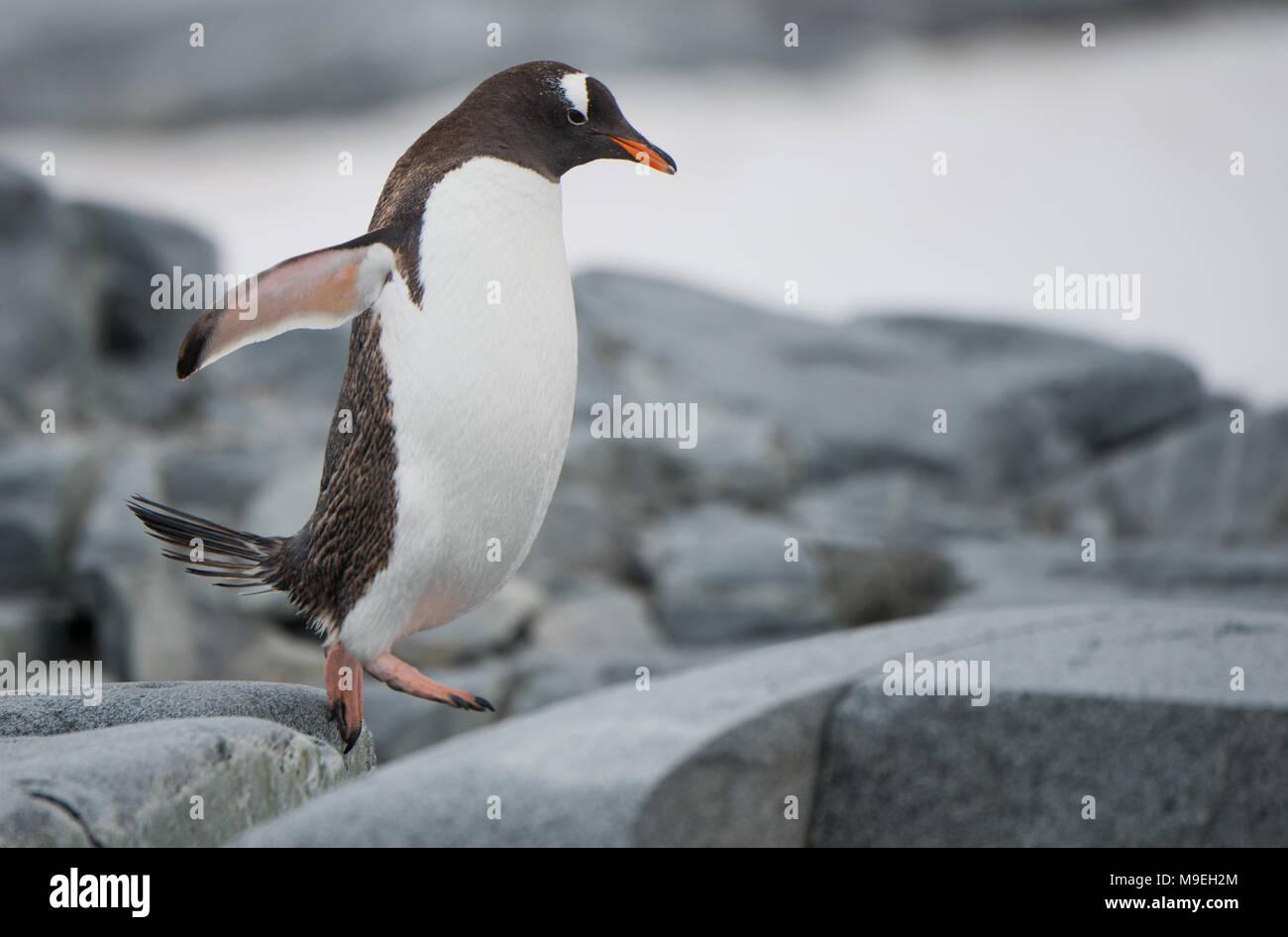 Un pingüinos papúa (Pygoscelis papua) saltando por un camino rocoso en la Antártida Imagen De Stock