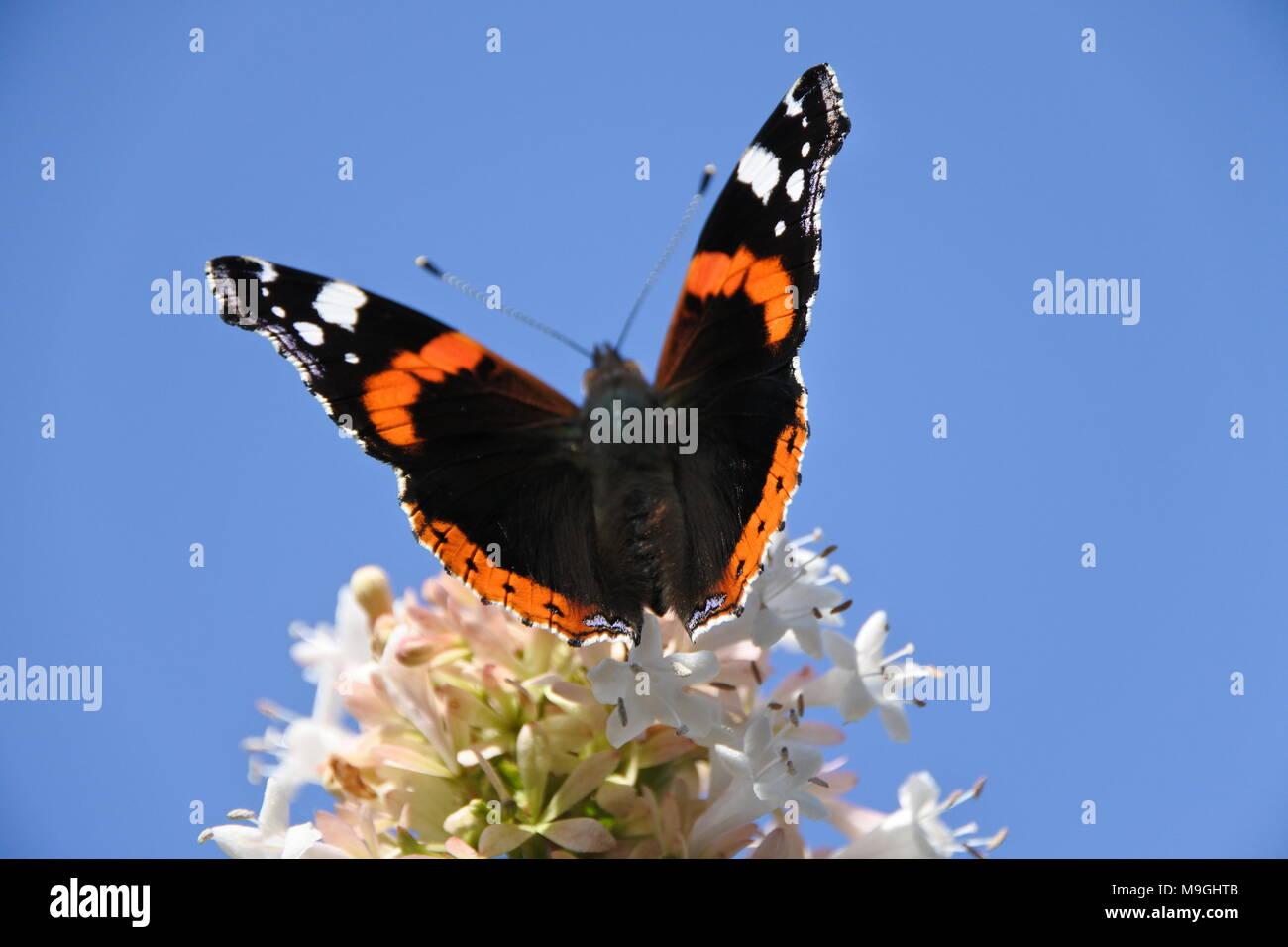 Almirante rojo (Vanessa Atalanta) Butterfly Foto de stock