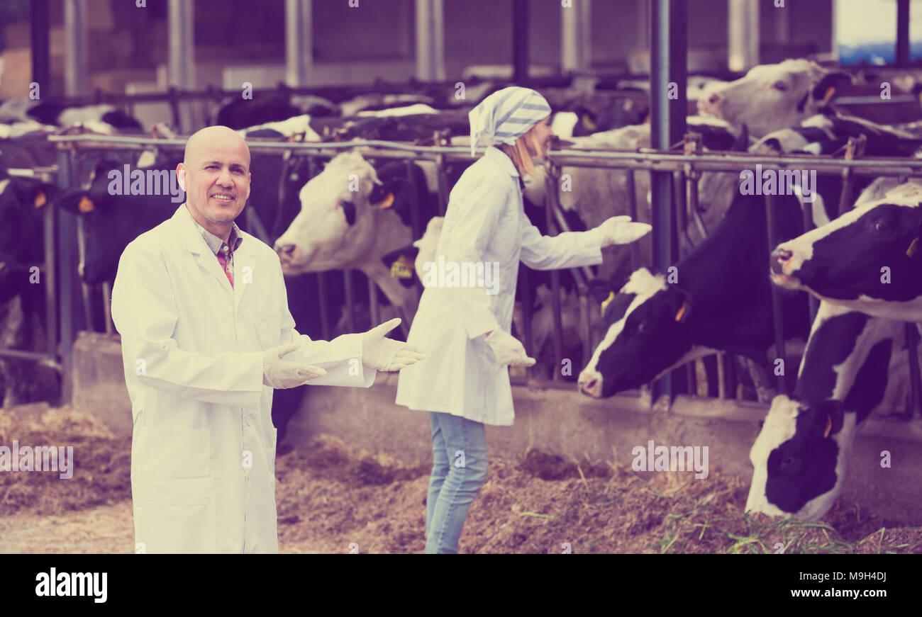 Veterinarios profesionales trabajando con vacas en cowhouse afuera Foto de stock