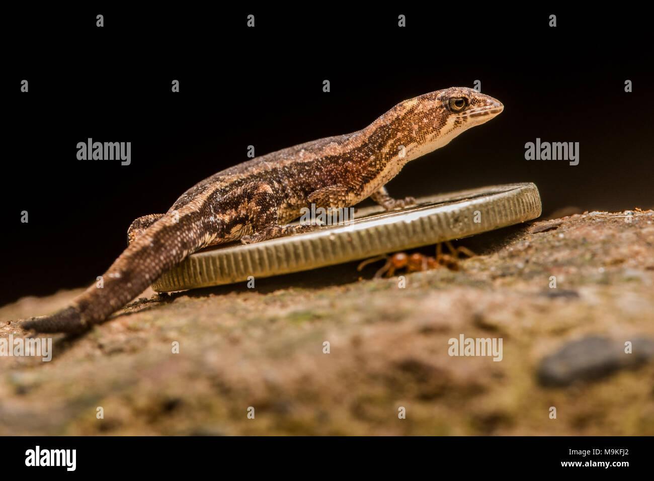 Esta pequeña especie de gecko (Psuedogonatodes sp.) es uno de los más pequeños reptiles y es eclipsado por una pequeña moneda. Foto de stock