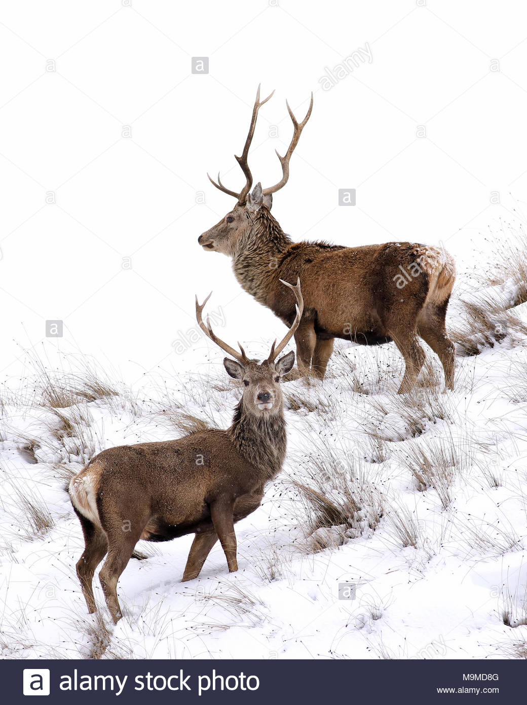 Dos Ciervos ciervos en una colina cubierta de nieve en las montañas, Sutherland, Escocia. Foto de stock