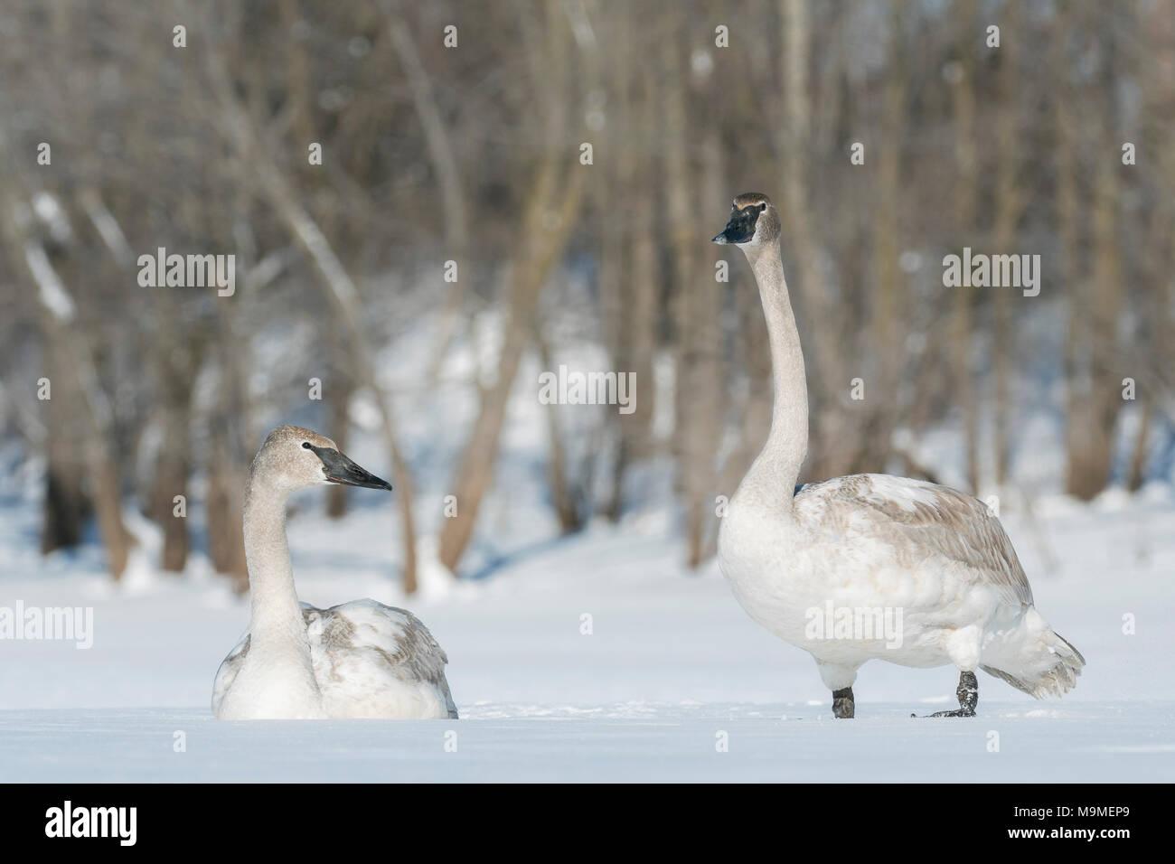 Trompetista inmaduros cisnes (Cygnus buccinator congelado) apoyado sobre el río Santa Cruz, Wisconsin, EE.UU., febrero, por Domninqie Braud/Dembinsky Foto Assoc Imagen De Stock