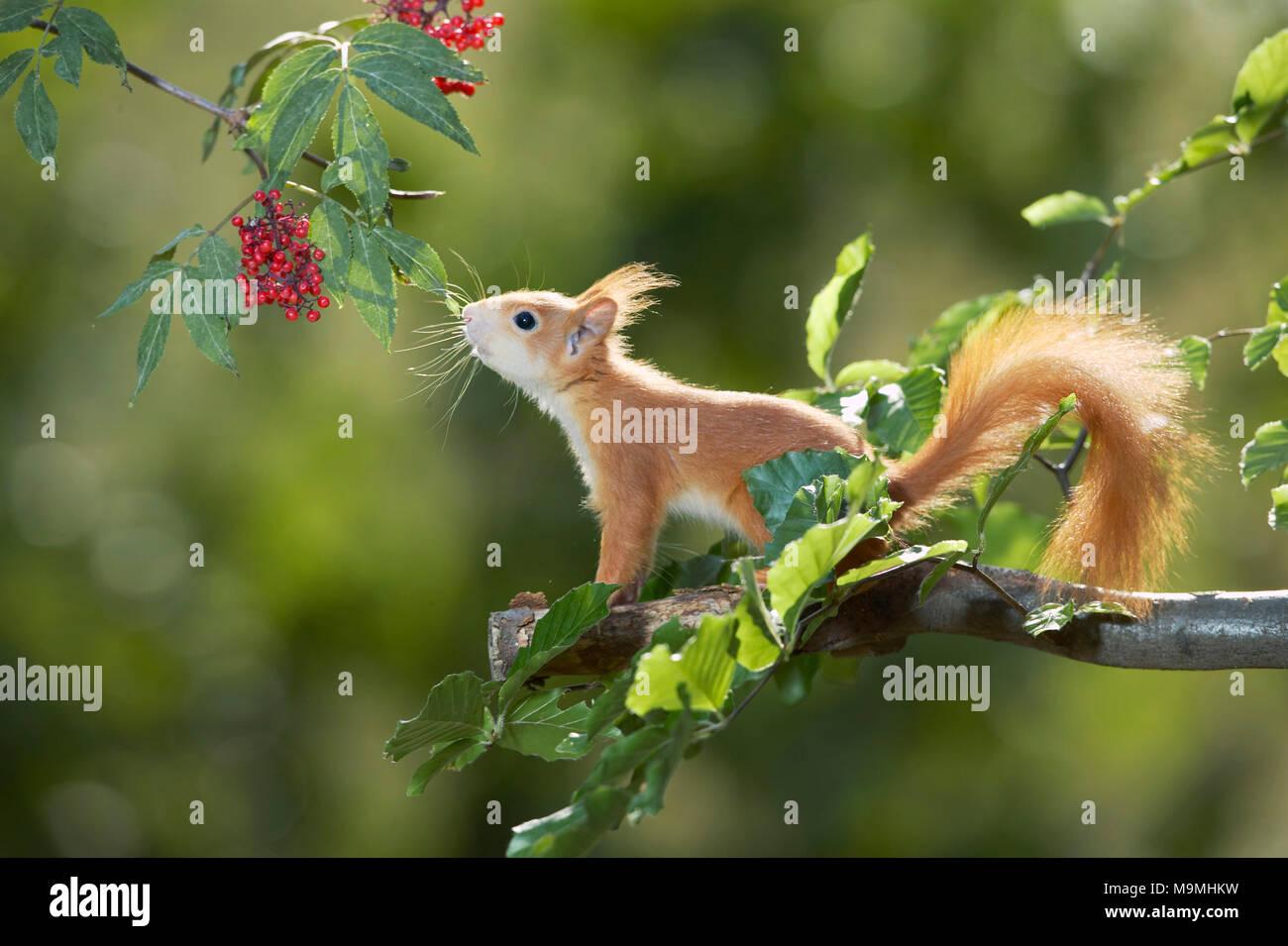Unión ardilla roja (Sciurus vulgaris) que se extiende a lo largo de bayas rojas. Alemania Imagen De Stock