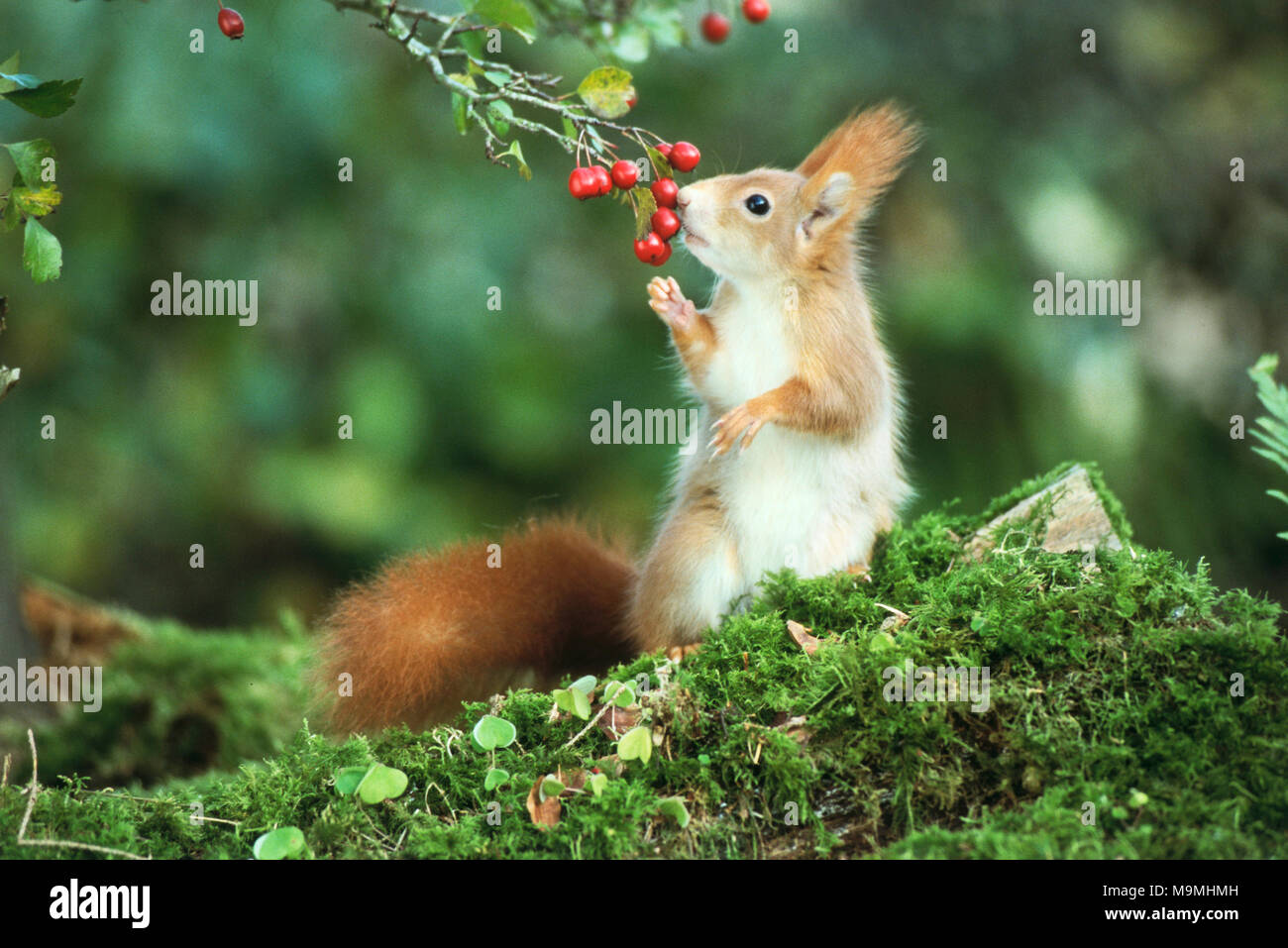 Unión ardilla roja (Sciurus vulgaris) comer bayas de espino. Alemania Imagen De Stock