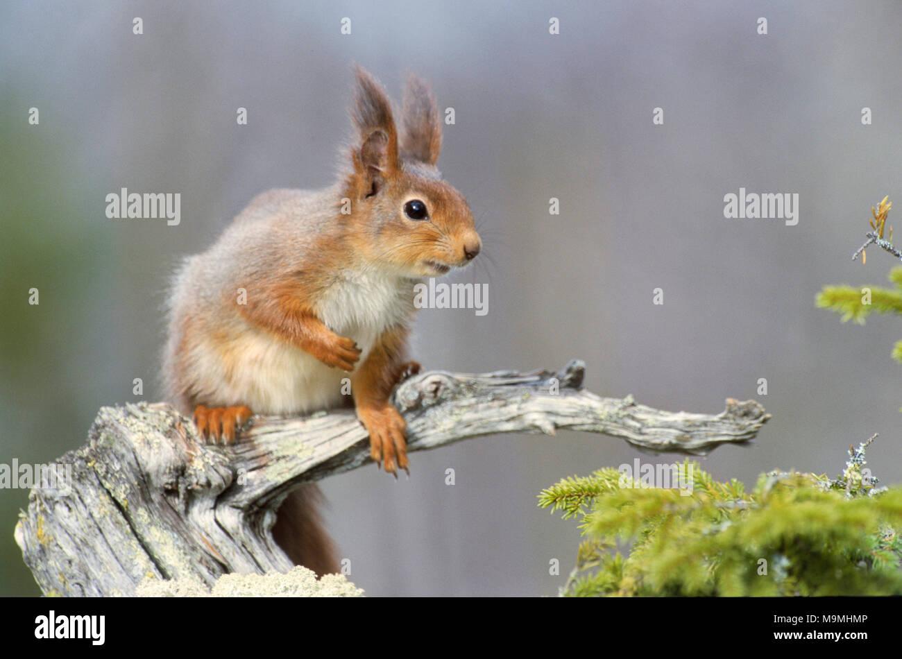 Unión ardilla roja (Sciurus vulgaris). Adulto en un dead nudosas rama. Alemania Foto de stock