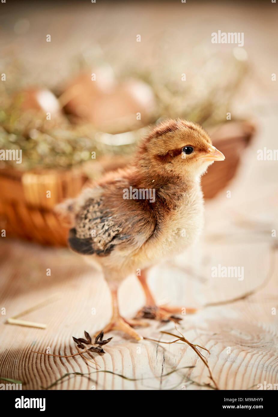 Welsummer pollo. Pollo en madera, de pie delante del nido con huevos. Alemania Imagen De Stock