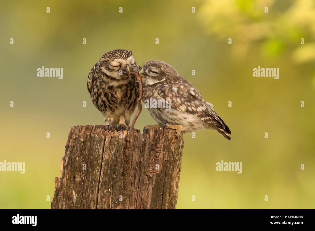 Pequeño búho (Athene noctua), pájaro adulto con el joven animal, la alimentación, la lombriz de tierra como presa, Renania-Palatinado, Alemania Imagen De Stock