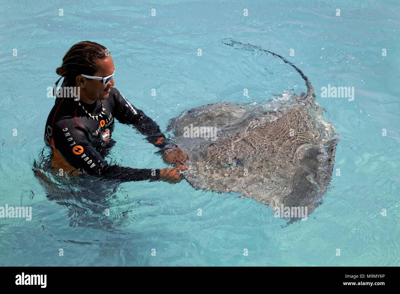 Polinesia, diver, juega en el agua con rosa Himantura whipray (FAI), Moorea, las Islas de la sociedad, Islas de Barlovento Imagen De Stock