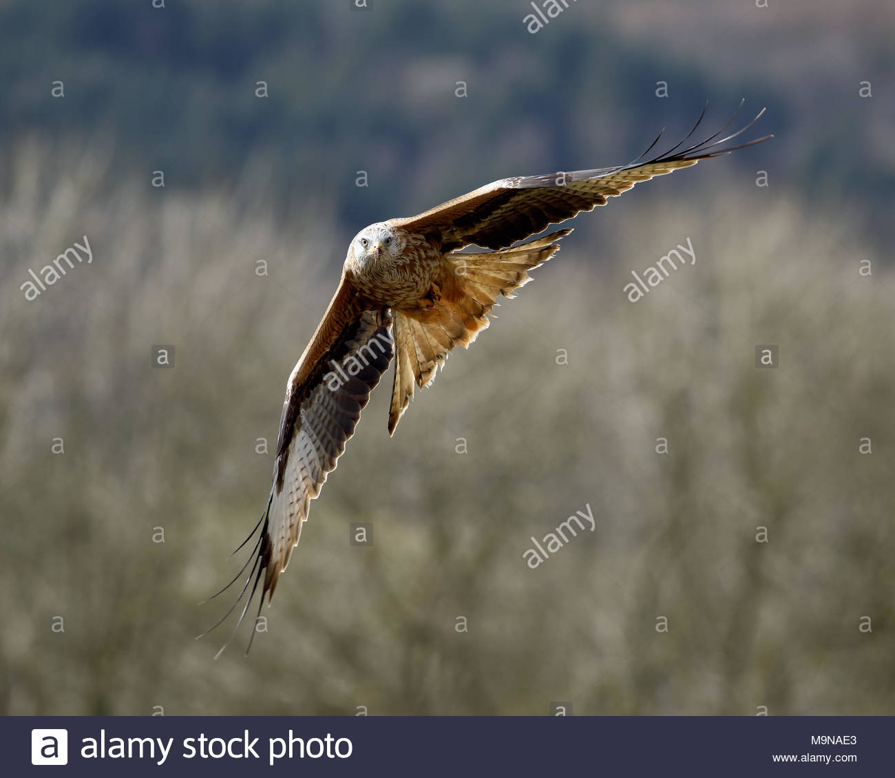 Una Red Kite en vuelo por encima de las colinas de Dumfriesshire, Escocia. Foto de stock