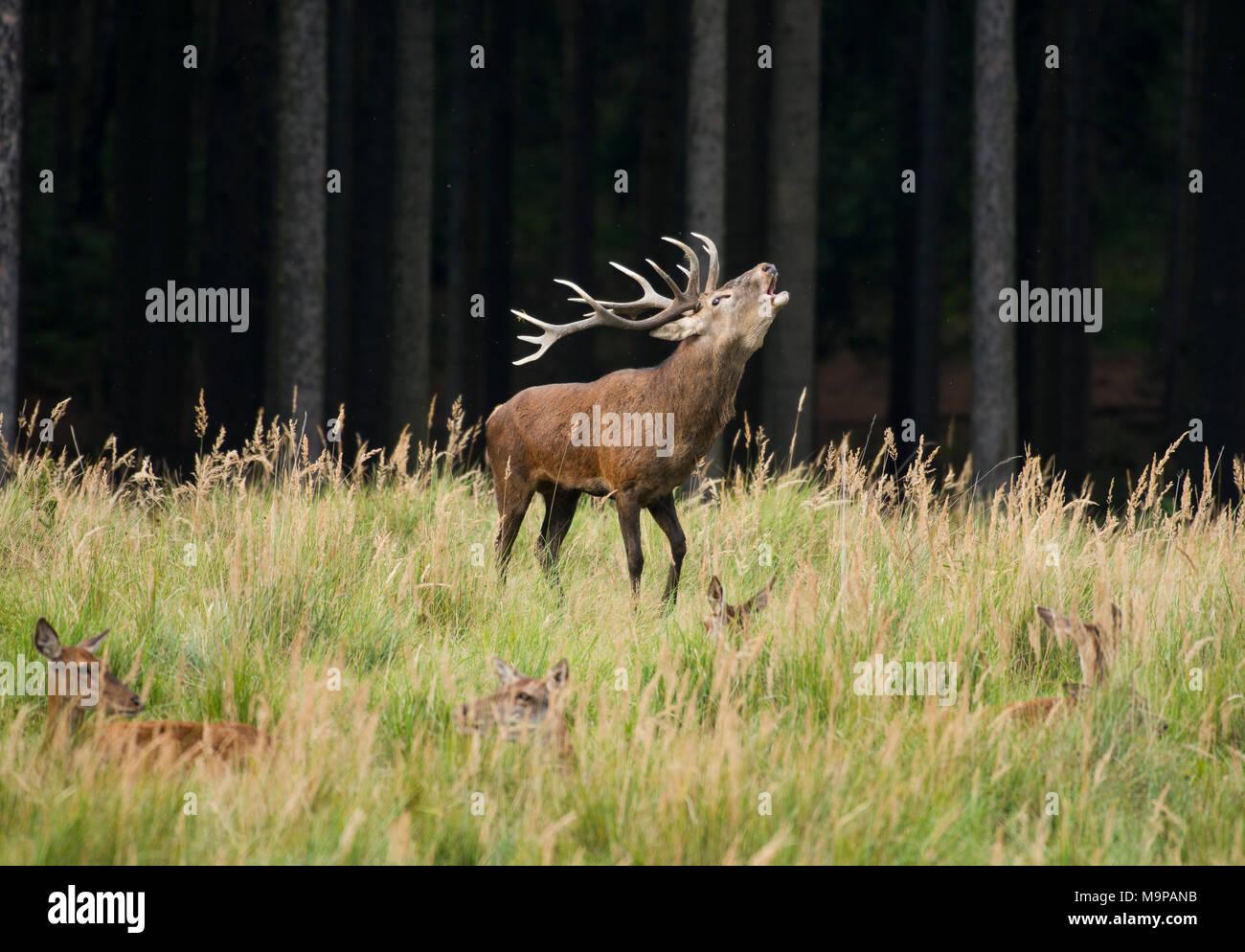 Ciervo rojo (Cervus elaphus) ruge durante la temporada de celo, las hembras se encuentran en pastos altos, cautiva, Alemania Imagen De Stock