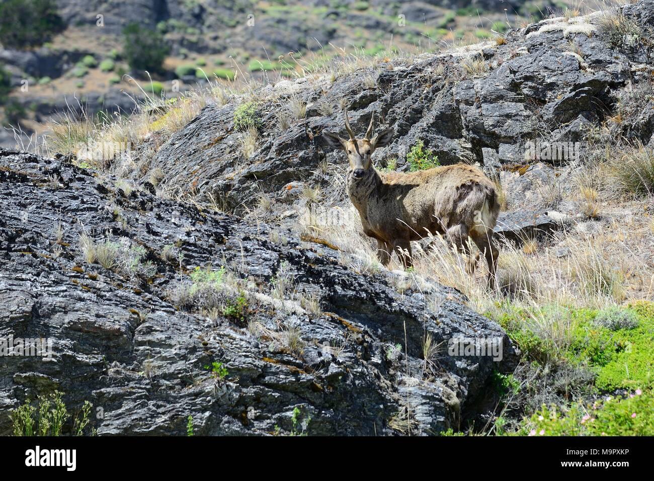 Huemul, también (Hippocamelus bisulcus) en ambiente rocoso, Reserva Nacional Lago Cochrane o Tamango, Cochrane Imagen De Stock