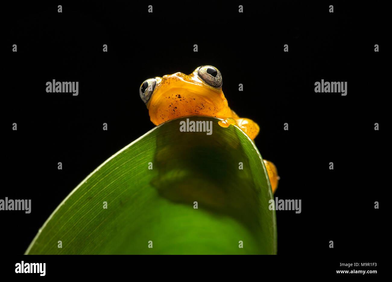 Poison dart frog (Boophis pirro), Parque Nacional de Andasibe, Madagascar Foto de stock