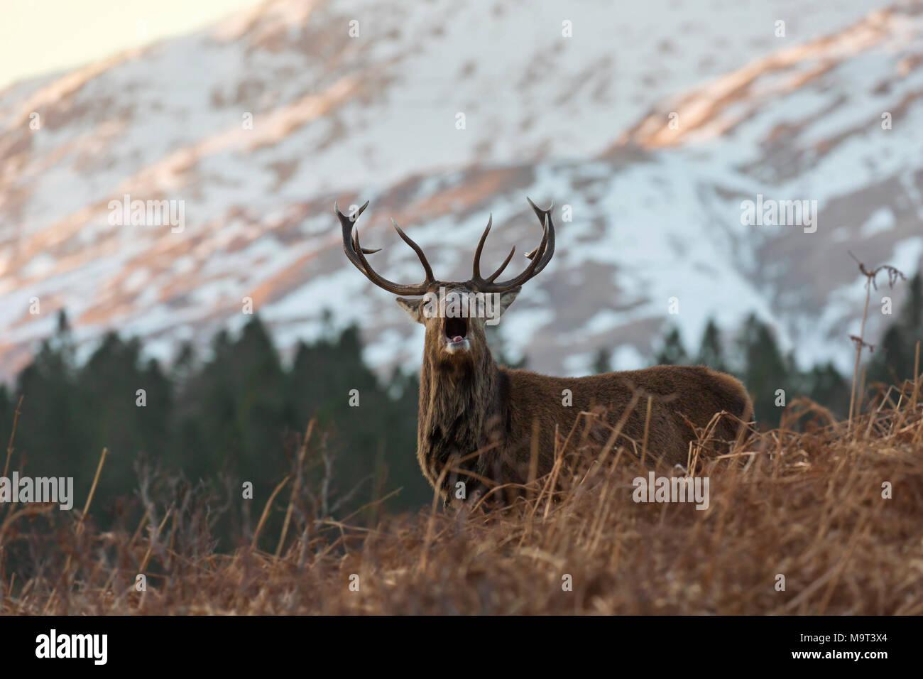 El ciervo rojo / macho de ciervo colorado (Cervus elaphus) berrea en las montañas en el invierno en las Tierras Altas de Escocia, Scotland, Reino Unido Foto de stock