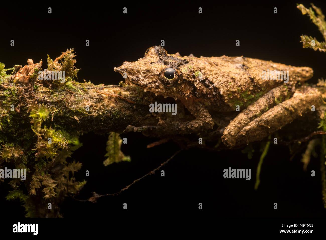 Una rana de árbol snouted (Scinax garbei) de Perú, esta especie es muy difícil de encontrar entre la vegetación como su camuflaje es excelente. Imagen De Stock