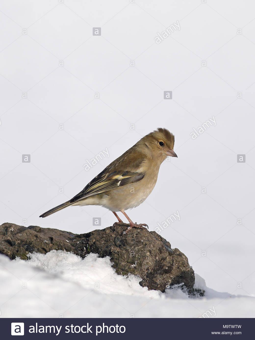 Una hembra de pinzón posado sobre una roca en un prado cubierto de nieve. Foto de stock