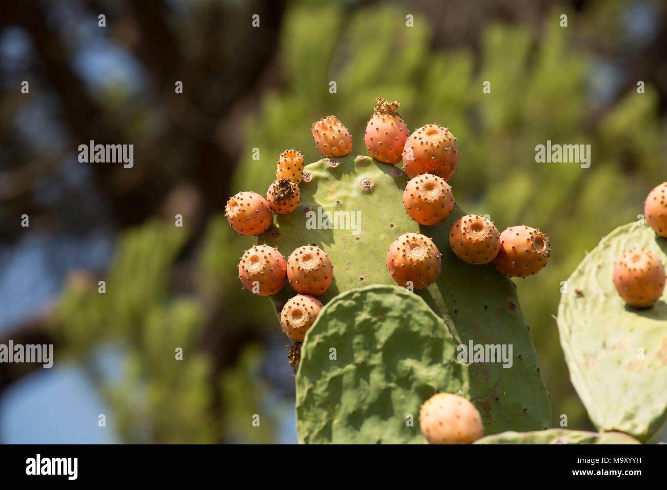 Las Tunas, Opuntia ficus-indica, crece en una finca en la Toscana Italia Imagen De Stock