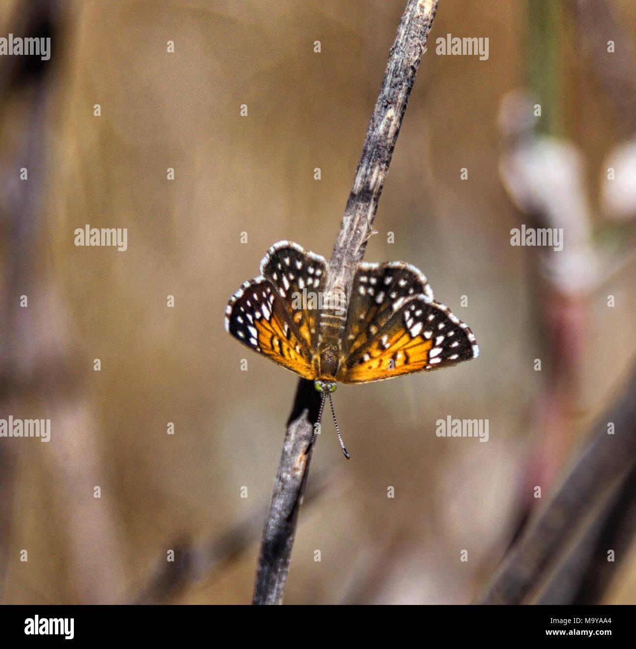 Lange's metalmark Butterfly. Antioquía Dunas de Arena, el 30 de agosto, 2016 clasificada como En Peligro en virtud de la Ley de Especies en Peligro de Extinción, esta especie está en peligro de extinción en todo o en una parte importante de su gama. Lange's metalmark mariposa fue históricamente restringido a las dunas de arena a lo largo de la orilla sur del río Sacramento-San Joaquin, y actualmente se encuentra sólo en Antioquía dunas de arena en el Condado de Contra Costa. La mayoría de los hábitat es ahora parte de la Antioch Dunes National Wildlife Refuge (administrado por el don Edwards San Francisco Bay National Wildlife Refuge Complex). Los últimos populatio Imagen De Stock