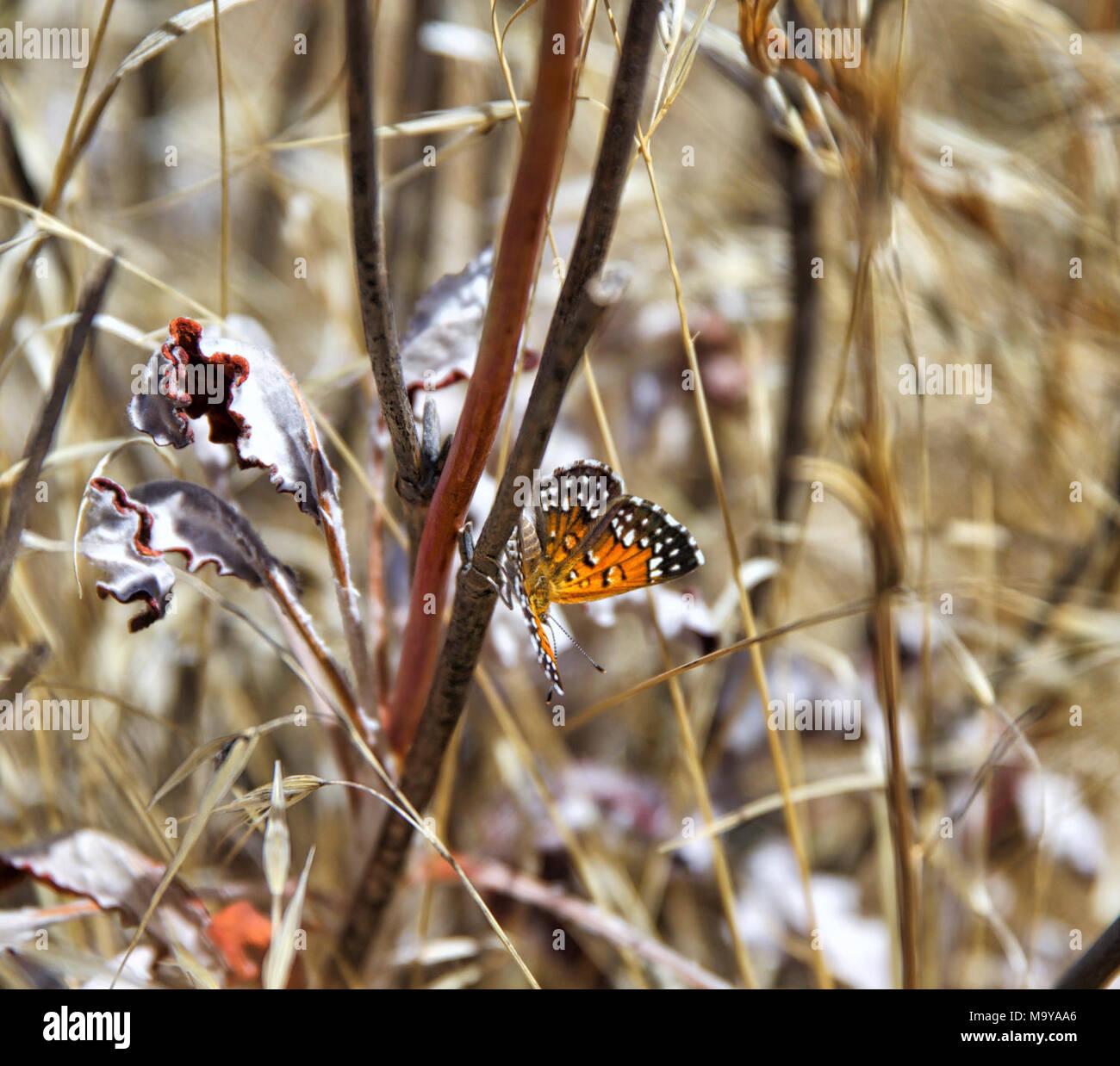 Lange's metalmark Butterfly. Antioquía Dunas de Arena, el 30 de agosto, 2016 clasificada como En Peligro en virtud de la Ley de Especies en Peligro de Extinción, esta especie está en peligro de extinción en todo o en una parte importante de su gama. Lange's metalmark mariposa fue históricamente restringido a las dunas de arena a lo largo de la orilla sur del río Sacramento-San Joaquin, y actualmente se encuentra sólo en Antioquía dunas de arena en el Condado de Contra Costa. La mayoría de los hábitat es ahora parte de la Antioch Dunes National Wildlife Refuge (administrado por el don Edwards San Francisco Bay National Wildlife Refuge Complex). Población recientes Imagen De Stock