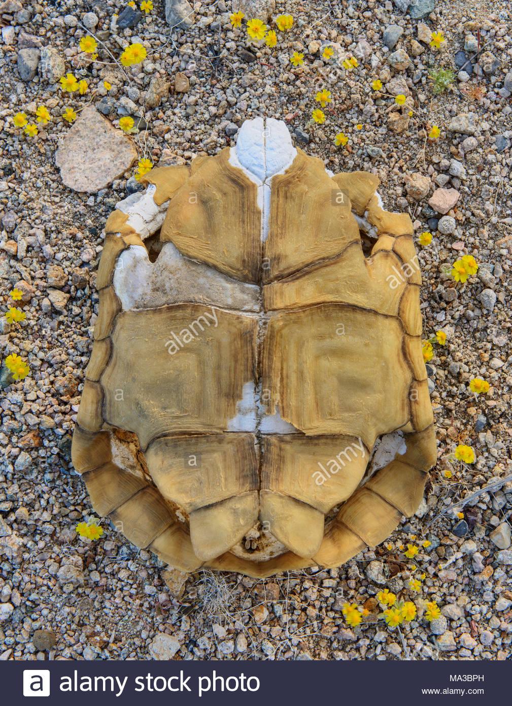 Caparazón de tortuga del desierto de Mojave National Preserve, California Imagen De Stock