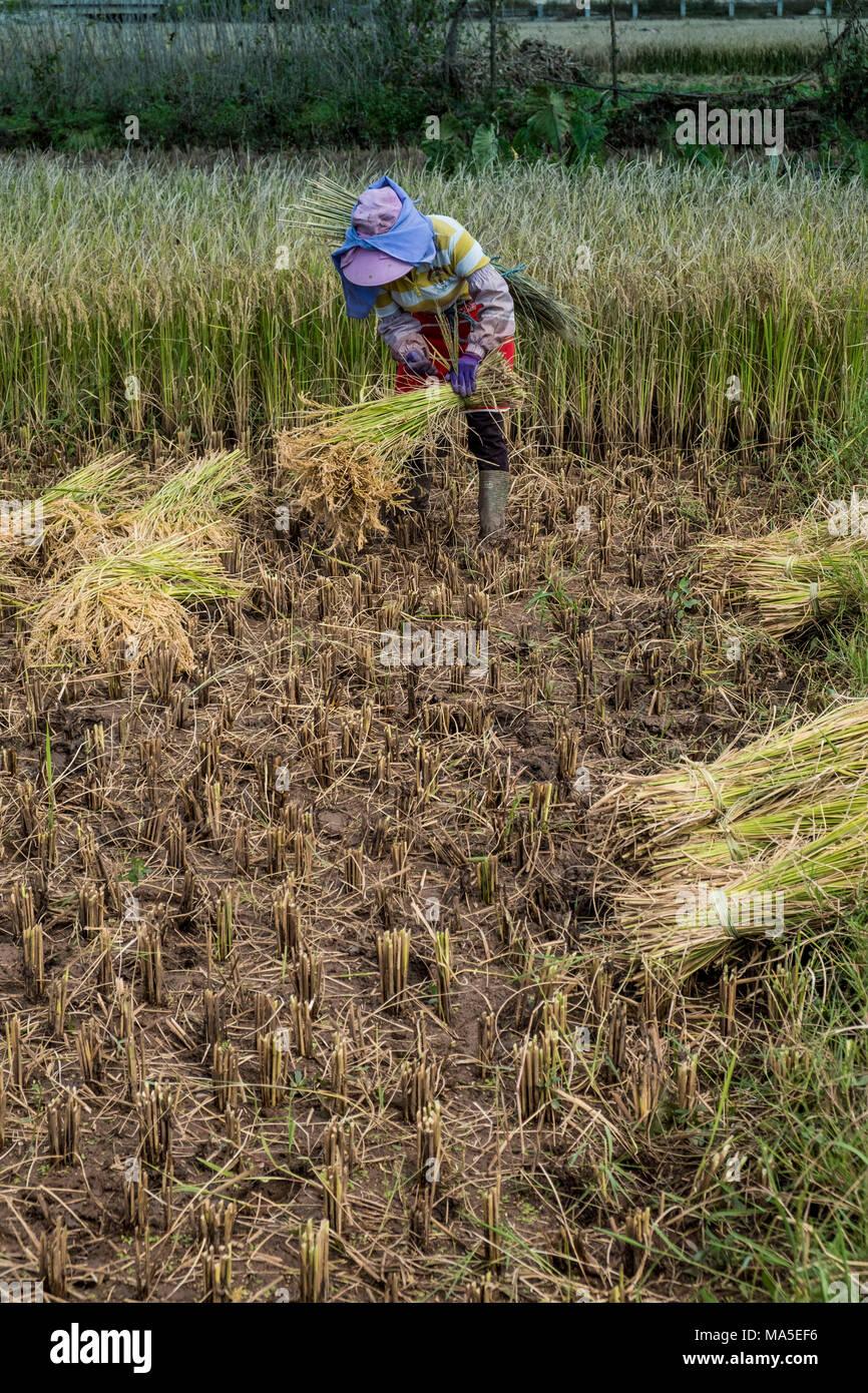 Cosechadora de arroz, provincia de Yunnan, China, Asia, Asia, Asia Oriental, Lejano Oriente Imagen De Stock