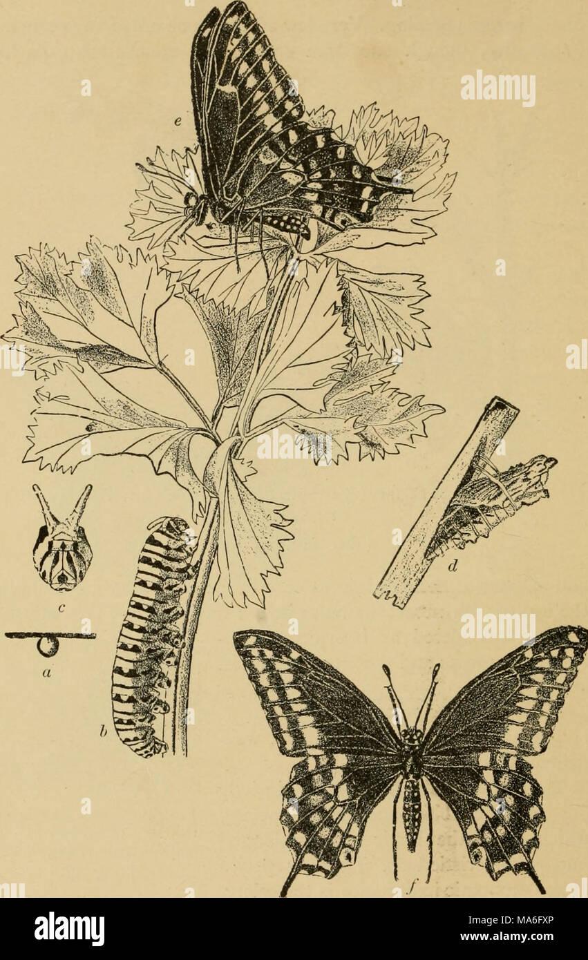 . La Entomología elementales . Fig. 263. La especie {Papilio polyxenes mariposas). (Ligeramente reducido) rt, huevo; B, caterpillar; c, vista frontal de la cabeza con osmateria sobresalía; d, chrysalis; e,f, adulto. (Después de Webster) 176 Foto de stock