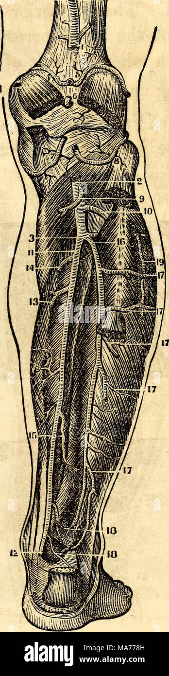 Femoral Artery Imágenes De Stock & Femoral Artery Fotos De Stock - Alamy