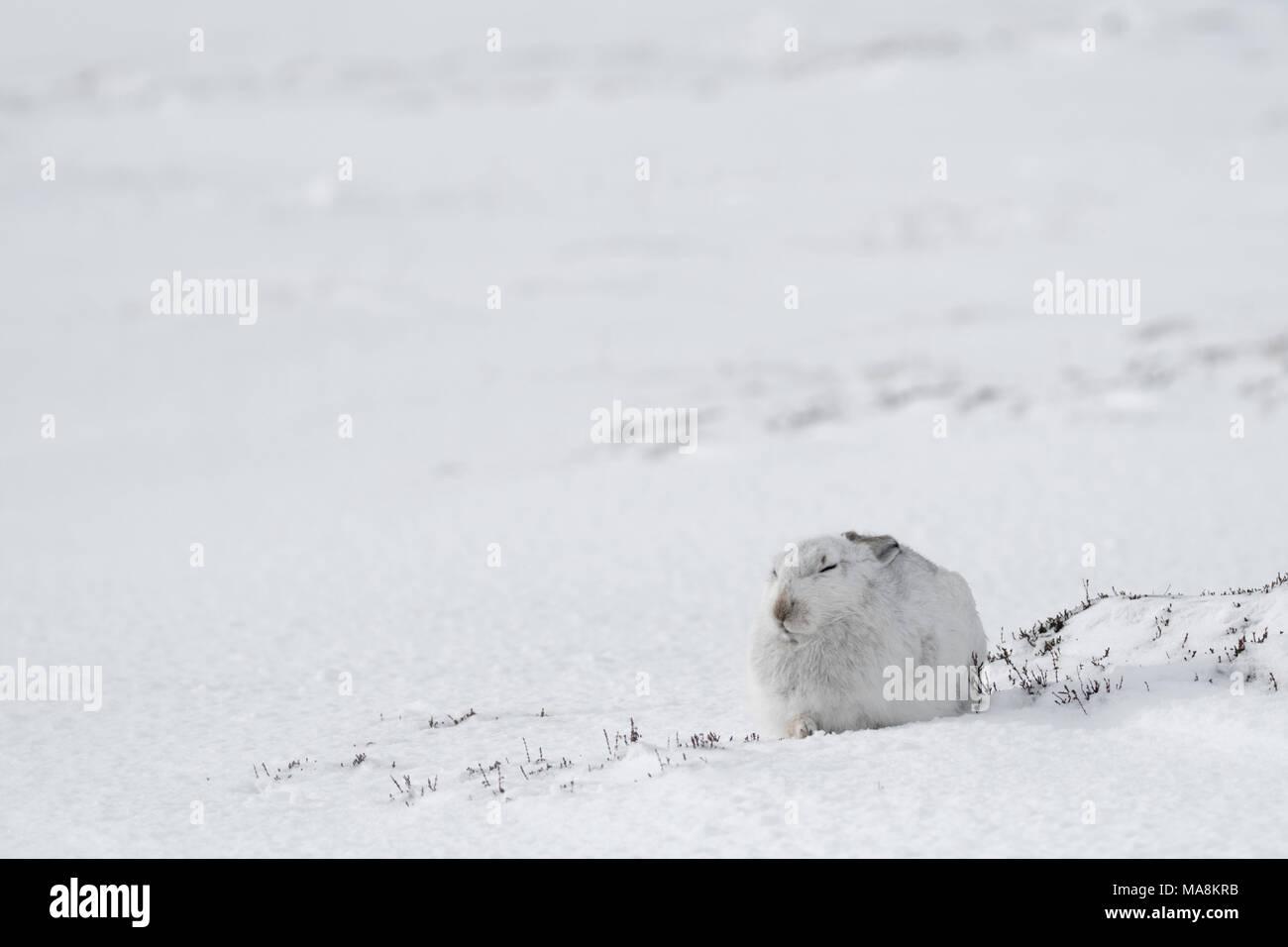La liebre de montaña (Lepus timidus) sentados en laderas cubiertas de nieve en las Highlands escocesas, marzo de 2018 Foto de stock
