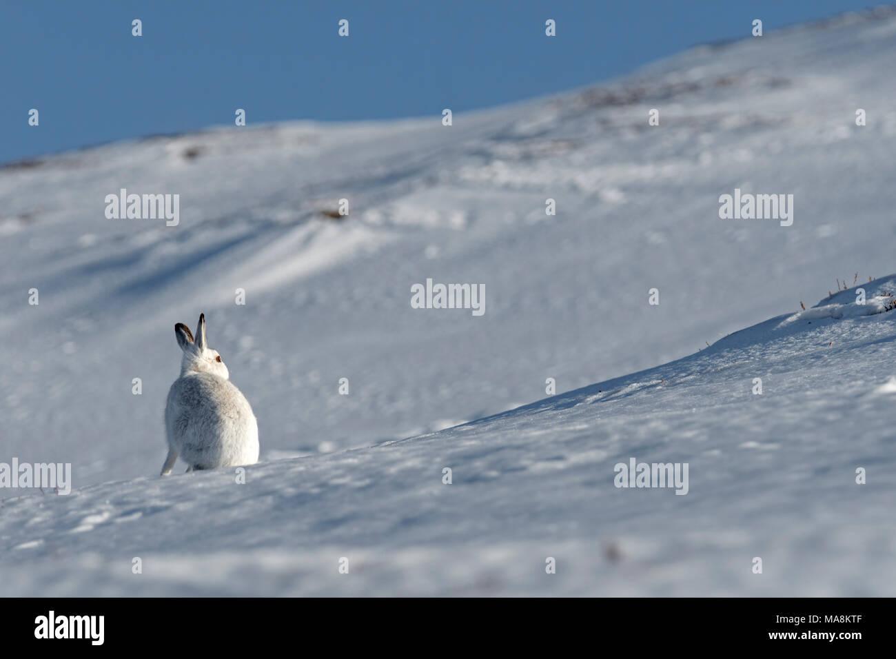 Amplio ángulo de visión de una montaña de la liebre (Lepus timidus) sentados en laderas cubiertas de nieve en las Highlands escocesas, marzo de 2018 Foto de stock