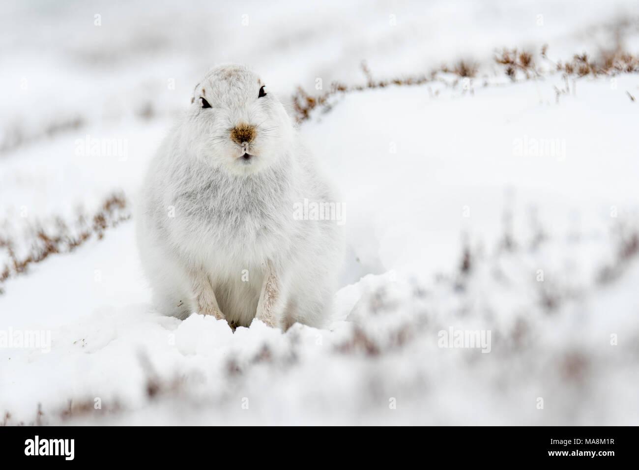Alerta liebre de montaña (Lepus timidus) en laderas cubiertas de nieve en las Highlands escocesas, marzo de 2018 Imagen De Stock