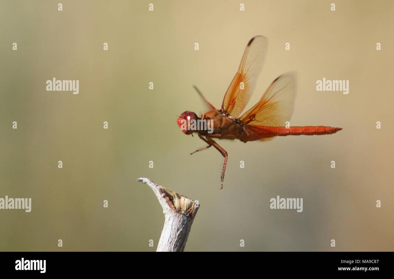 Skimmer de llama en Ash Meadows NWR. Skimmer de llama puede ser nuestro más conspicuos dragonfly - uno de los más propensos a ser vistos y comentados por el público en general. Es grande, brillante, de color rojo-naranja, y los machos perch notoriamente en estanques y lagos. Skimmer de llama es un color naranja-rojo sobre el cuerpo, y hay una gran cantidad de lava de color naranja en la mitad basal de cada ala. Los machos tienen una banda marrón en el trimestre basal de cada ala, útil en la identificación de algunas otras especies. Los hombres defender territorio pick perchas junto o encima del agua, pero los individuos pueden encontrarse forrajeo bastante dis Foto de stock