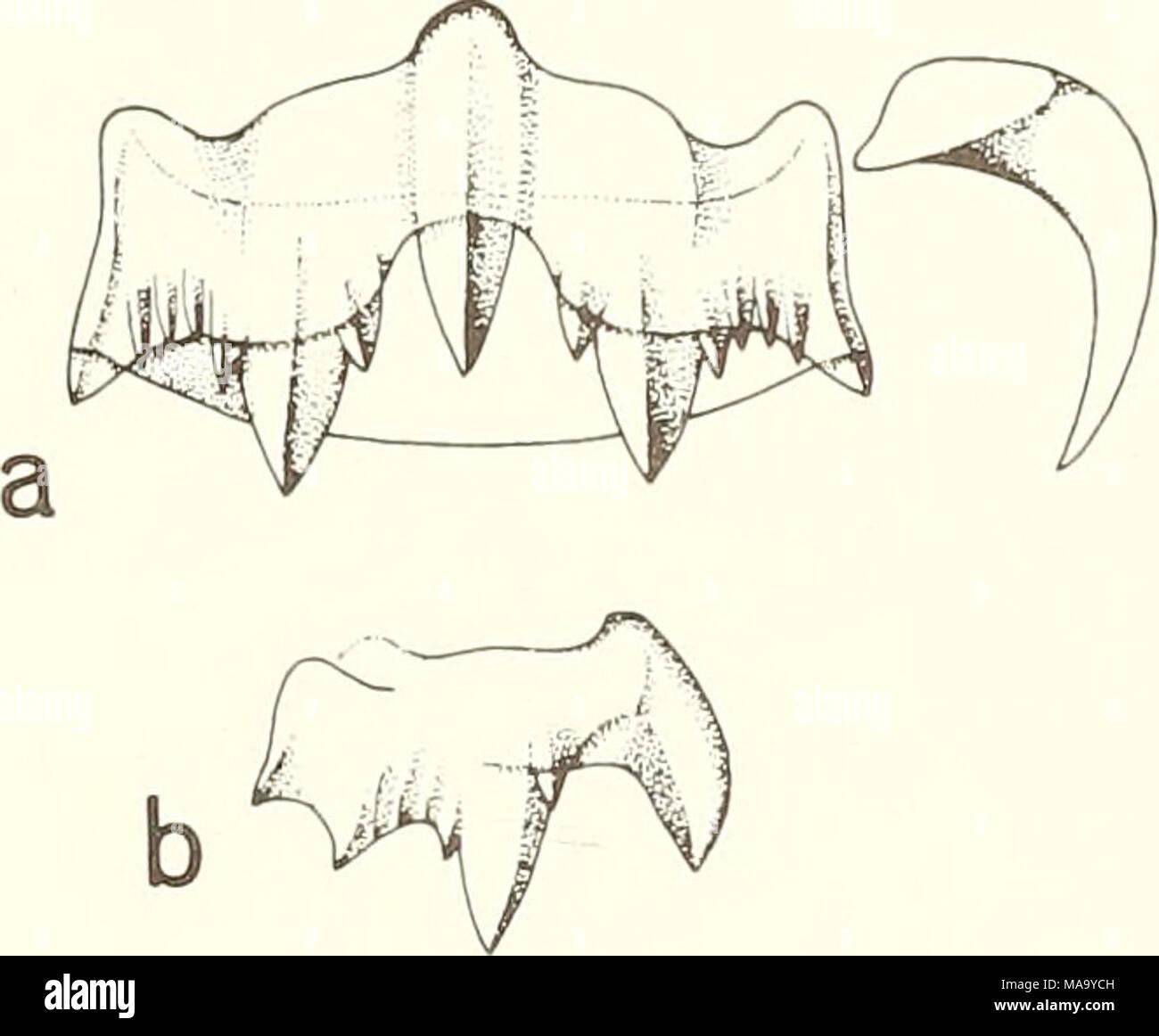 . El eco . Figura 1?. Ocenebra erinacea, 2/3 de un diente radular fila transversal (a); vista lateral de un diente raquídeo (B). 63 Foto de stock