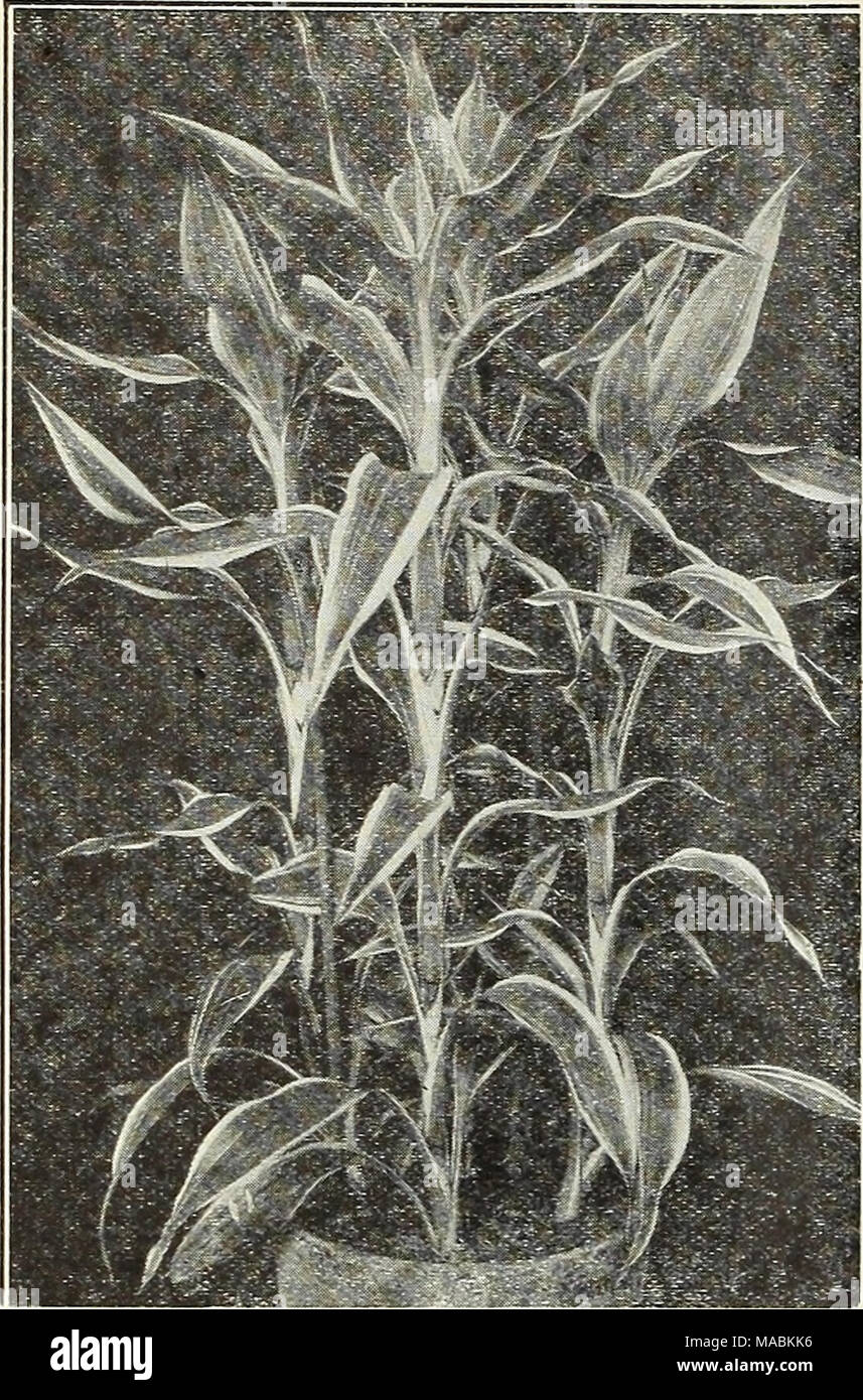 ... del Dreer floristerías   edición especial de primavera . Massanseana.  Sanderlana. Dracaena Sanderlana Dracaenas por doz. Por 100 macetas de 3  pulgadas. 8b8e4aae859
