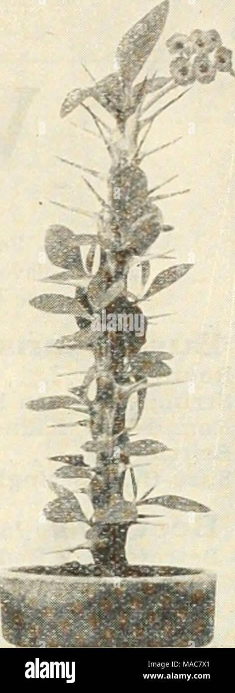 La lista Dreer solsticio de verano de 1934 . Euphorbia splendens ...
